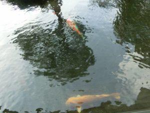 池の鯉_171223
