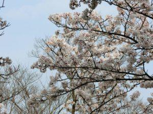 花見_8_180401