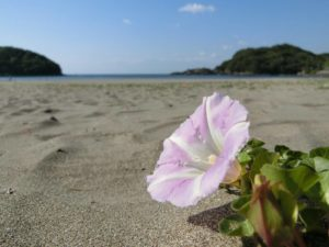 砂浜に咲く花_180504