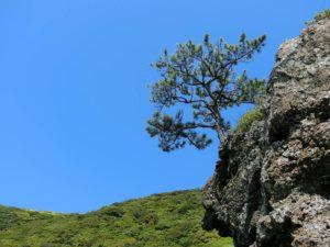 岩に松_180504