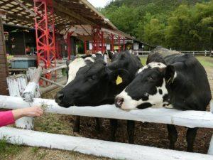 牛に餌をやる_180519