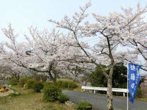 管理棟前の桜_190407